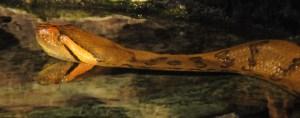 Anaconda-ref