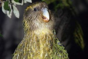 sirocco-the-kakapo-is-a-parrot-superstar-5-pics-4-videos-3