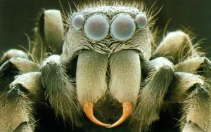 sem-of-head-of-zebra-jumping-spider-salticus-sp-power-and-syred